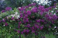 Плетистая роза «Виолетт»