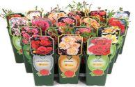 Плетистые розы ОБИ