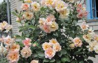 Описание и выращивание плетистой розы Compession