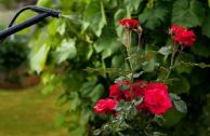 Борьба с щитовкой на садовых розах