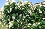 Роза плетистая «Эльф»