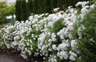 Лучшие сорта белых парковых роз