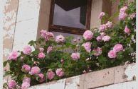 Плетистая роза на балконе, уход и выращивание