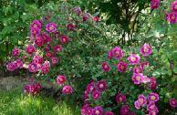 Сорта роз без укрытия на зиму