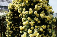 Обзор лучших сортов жёлтых плетистых роз