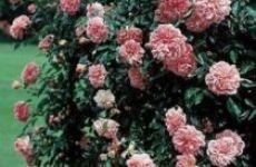 Роза плетистая «Клайминг Кимоно»