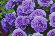 Роза плетистая голубая