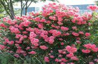 Роза плетистая «Лавиния»