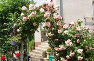 Как отличить плетистую розу от штамбовой, кустовой, простой, шиповника