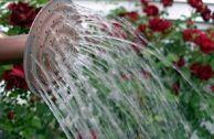 Правила полива садовых роз