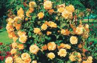 Роза Метанойя плетистая