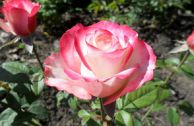Роза «Свитнес»