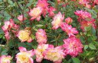 Роза «Беби Маскарад»