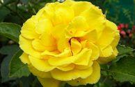 Плетистая роза Goldstern: описание и отзывы