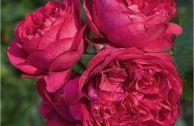 Роза «Эрик Таберли»