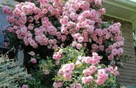 Сорта плетистых роз для выращивания в Сибири