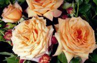 Описание плетистой розы Barock и отзывы розоводов
