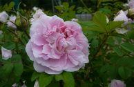 Роза парковая «Мартин»
