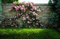 Плетистые розы Climber