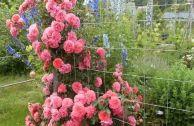 Плетистые розы Кордес