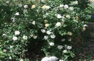Роза плетистая – сорт «Дана»