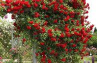 Лучшие сорта роз для Подмосковья
