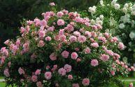 Неукрывные парковые розы: сорта и отзывы
