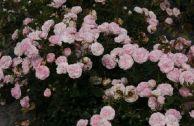 Почвопокровные розы, цветущие все лето для Подмосковья