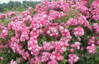 Лучшие сорта роз для средней полосы