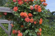 Плетистая роза «Вестерленд»