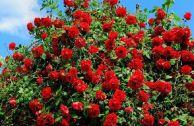 Что делать, если опадают листья на розах