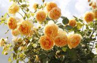 Выращивание розы Golden Celebration в плетистой форме