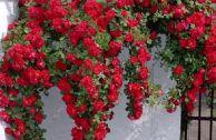 Плетистые розы для Подмосковья