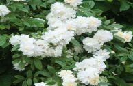 Роза плетистая – сорт «Айсберг»