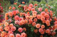 Теневыносливые розы: сорта и особенности ухода