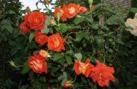 Роза «Лас Вегас»