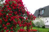 Плетистые розы для Урала
