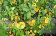 Причины пожелтения листьев розы