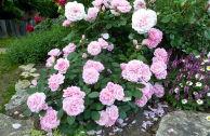 Лучшие канадские парковые розы