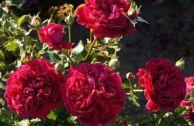Роза William Sheakespeare: описание, отзывы, особенности