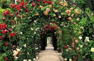 Сорта роз группы рамблер: описание и особенности