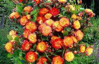Роза плетистая «Румба Клайминг»