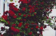 Роза плетистая «Дебют»