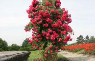 Плетистая роза Скарлет