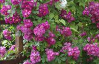 Роза плетистая Блю