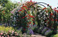 Плетистые розы мелкоцветковые