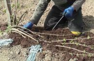 Размножение плетистой розы отводками