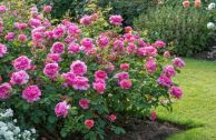 Лучшие парковые розы для Подмосковья