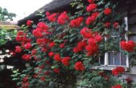Плетистая роза «Пол Скарлет»