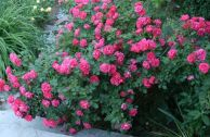 Роза плетистая John Cabot
